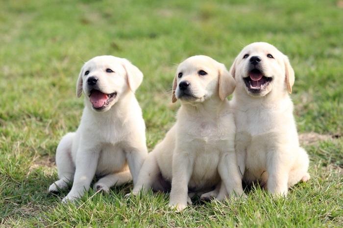 mơ thấy chó vàng, Mơ thấy chó vàng có ý nghĩa gì? Đánh con gì để nhanh trúng lô?