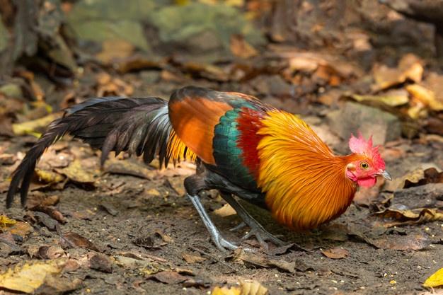 mơ thấy gà, Nằm mơ thấy gà đánh con gì thì tốt?